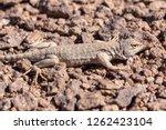 andina lizard  liolaemus andina ... | Shutterstock . vector #1262423104