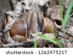 gastropods. two land snails... | Shutterstock . vector #1262475217