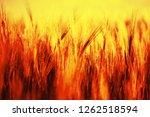 organic green wheat. macro... | Shutterstock . vector #1262518594