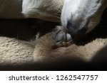 details of dogs nose and feet... | Shutterstock . vector #1262547757