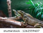closeup of two long philippine... | Shutterstock . vector #1262559607