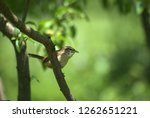 carolina wren resting | Shutterstock . vector #1262651221