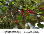 bright red tiny wild crabapples ... | Shutterstock . vector #126266837