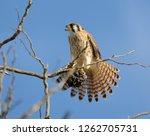 american kestrel perched | Shutterstock . vector #1262705731
