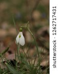 snowdrops  galanthuses  in... | Shutterstock . vector #1262717431