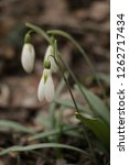 snowdrops  galanthuses  in... | Shutterstock . vector #1262717434