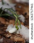 snowdrops  galanthuses  in... | Shutterstock . vector #1262717461