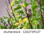 female house finch | Shutterstock . vector #1262739127