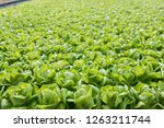 view of the hydroponics style... | Shutterstock . vector #1263211744