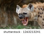 The hyena is africa s most...