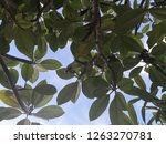 green leaves with blue sky and... | Shutterstock . vector #1263270781