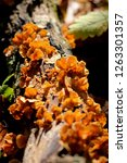 Gold Colored Mushrooms On Tree...