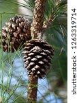 Close Up Of Two Slash Pine Tree ...