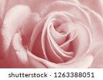 light rose. macro image. | Shutterstock . vector #1263388051