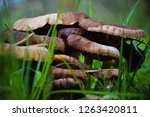 old honey agarics in grass | Shutterstock . vector #1263420811