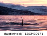 Killer Whale  Orca  Orcinus Orca