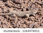 andina lizard  liolaemus andina ... | Shutterstock . vector #1263476011