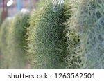 spanish moss in the garden. | Shutterstock . vector #1263562501