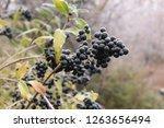 poisonous black berries called  ...   Shutterstock . vector #1263656494
