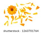 Stock photo marigold flowers with petals isolated on white background calendula flower top view 1263701764