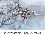 Red Berries In The Ice . The...
