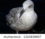 A Young Seagull With Gray And...