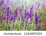 salvia. summer meadow with sage ... | Shutterstock . vector #1263895201