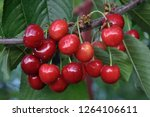 on a tree branch  ripe red... | Shutterstock . vector #1264106611