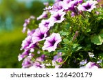 Purple And Pink Petunias In A...