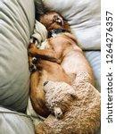 puppy dog sleeping on sofa... | Shutterstock . vector #1264276357