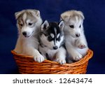Tree Husky Puppies In The Basket