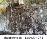 Exposed Tree Roots On A Wall