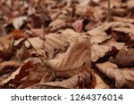 dry autumn leaves on the ground ... | Shutterstock . vector #1264376014