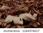 dry autumn leaf on the ground.... | Shutterstock . vector #1264376017