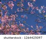 prunus cerasoides flower sakura ... | Shutterstock . vector #1264425097