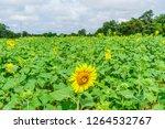 beautiful yellow sunflower... | Shutterstock . vector #1264532767