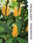 """lollipop plant"" flower  or... | Shutterstock . vector #1264785361"