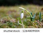 spring first snowdrop flower... | Shutterstock . vector #1264809004