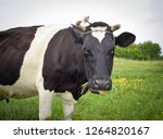 cow portrait in a pasture. cow... | Shutterstock . vector #1264820167