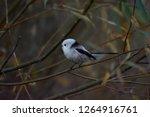 european long tailed tit ...   Shutterstock . vector #1264916761