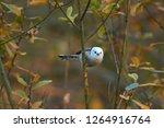 european long tailed tit ...   Shutterstock . vector #1264916764