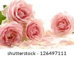 pink roses bunch isolated on... | Shutterstock . vector #126497111