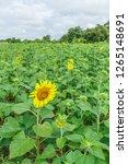 beautiful yellow sunflower and...   Shutterstock . vector #1265148691