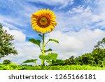 beautiful yellow sunflower and...   Shutterstock . vector #1265166181