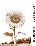 beautiful yellow sunflower and...   Shutterstock . vector #1265167057