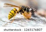 The Common Wasp  Vespula...