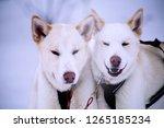 two adorable twin huskies... | Shutterstock . vector #1265185234