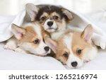 three little welsh corgi... | Shutterstock . vector #1265216974