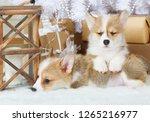 two funny puppies welsh corgi... | Shutterstock . vector #1265216977