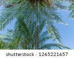the leaves of the palm tree are ... | Shutterstock . vector #1265221657
